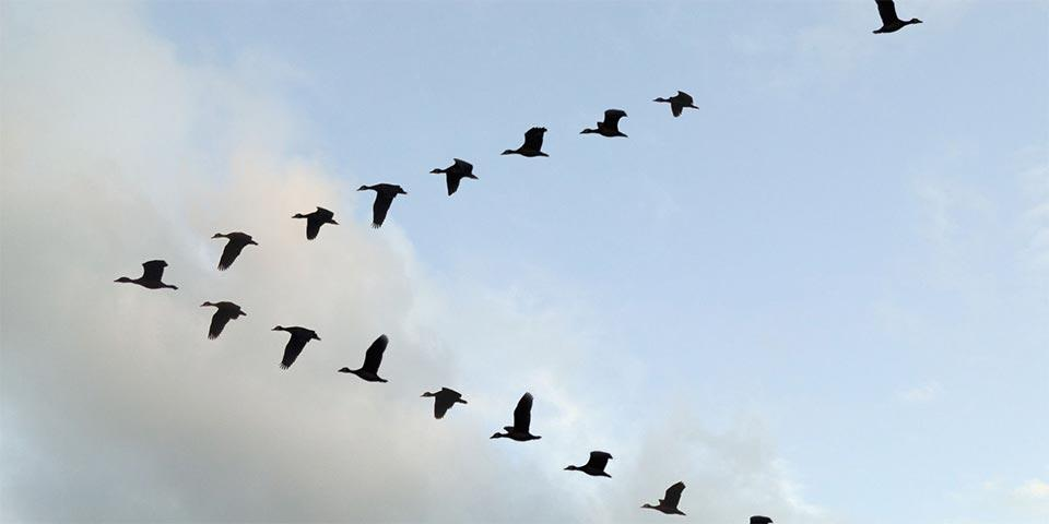 A flock of geese flying in a V formation